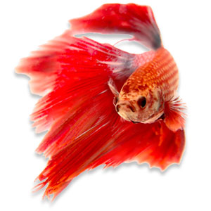 Betta splendens vinnen