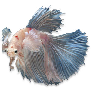 Betta splendens mannetje