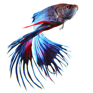 Betta splendens kleuren
